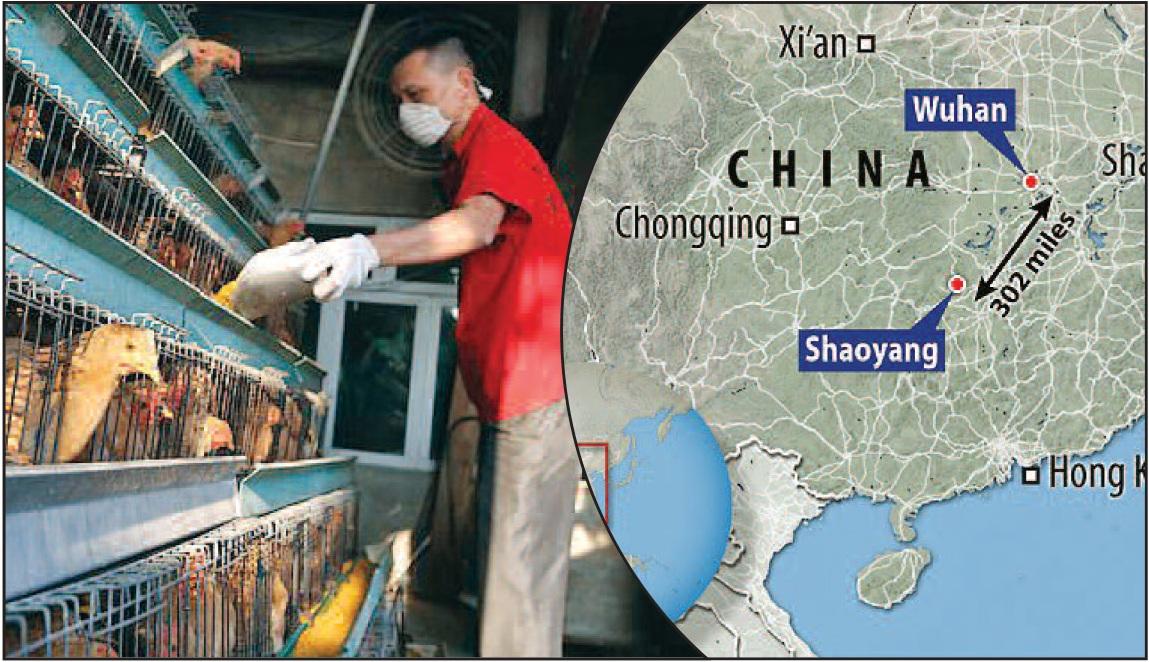 'कोरोनाव्हायरस'च्या साथीनंतर चीनला 'बर्ड फ्ल्यू'चा फटका– हुनान प्रांतात सुमारे १८ हजार कोंबड्यांची कत्तल